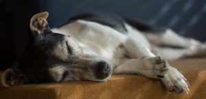 By the age of seven, dogs are considered seniors.