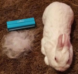 Rabbits Need Regular Brushing