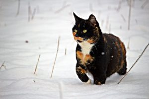 Cats are very susceptible to frostbite!