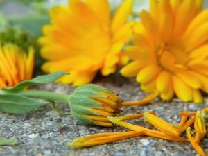 Calendula Soothes Horse's Dry Winter Skin