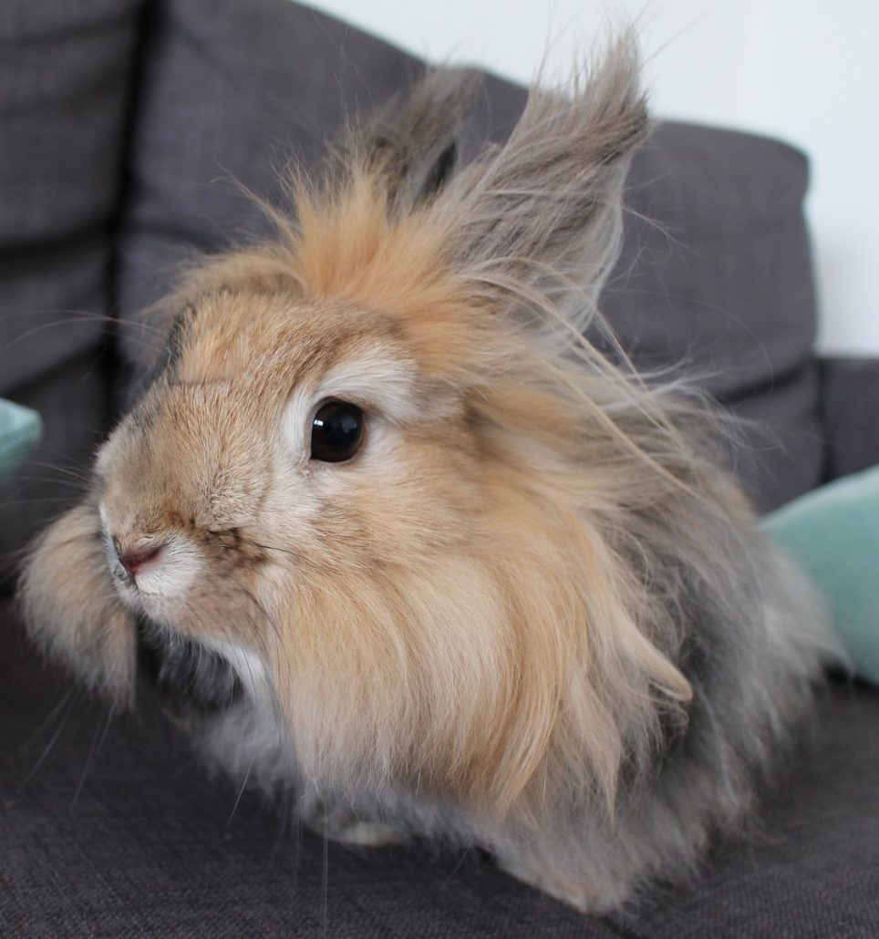 Little Angora Rabbit