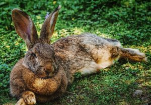 Hot Rabbit Laying in the Shade