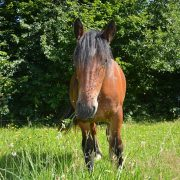 Horse in pasture with face covered in flies