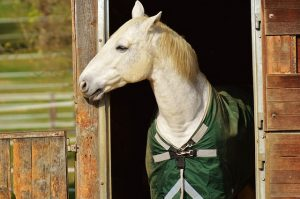 Blanketed Horse Looking out Barn Door