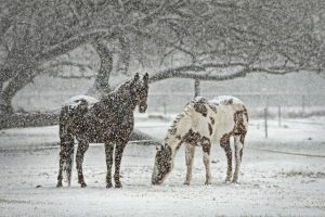 Horses without Blankets During Winter in a Pasture