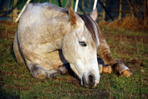 Horse Laying Down in a Pasture