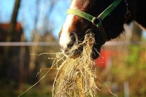 Horse Eating a Mouthful of Hay