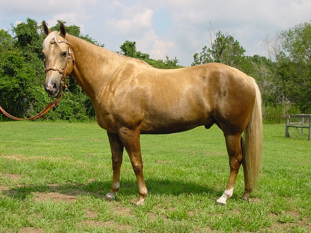 Palomino is a unique cream-color on horses