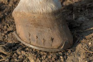 Shod Horse Hoof
