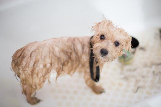 Wet Dog in Bathtub Getting Groomed