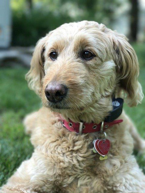 Golden Doodle Puppy on Grass