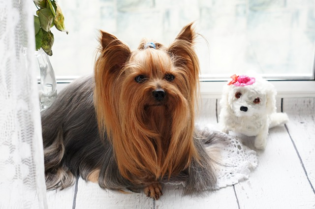 A Long-Haired Yorkie